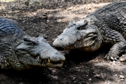 12-Kuba-2019-Krokodilfarm-0526