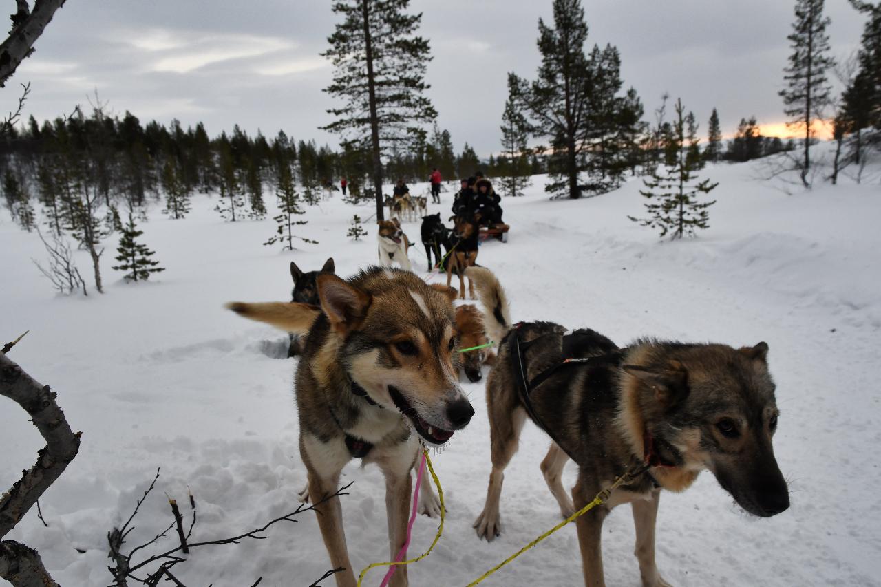 15-Kirkenes-Schlittenhunde-0846