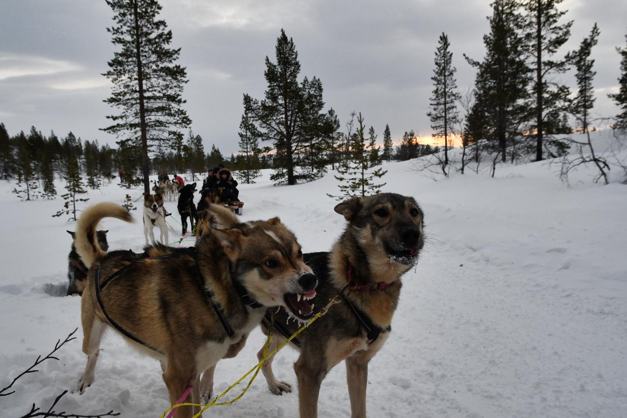 15-Kirkenes-Schlittenhunde-0851