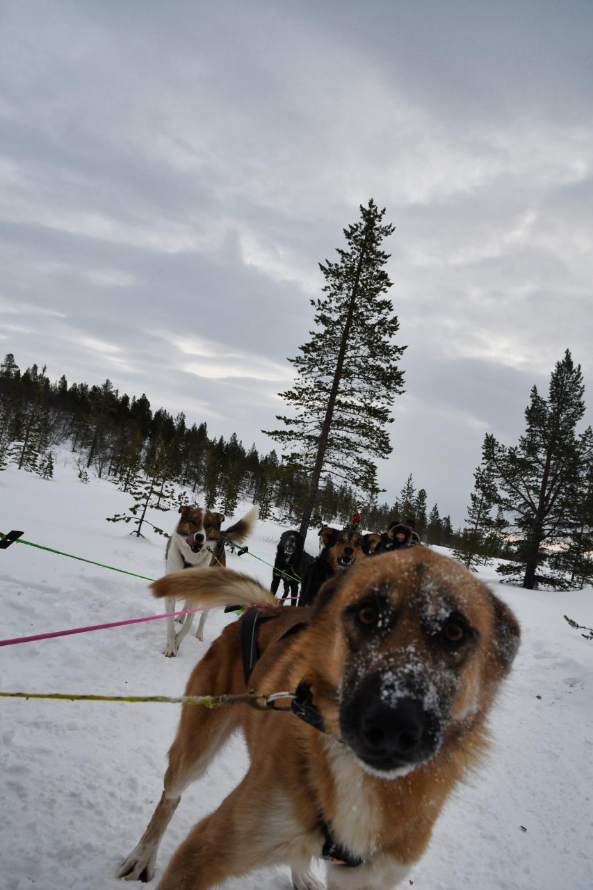 15-Kirkenes-Schlittenhunde-0858