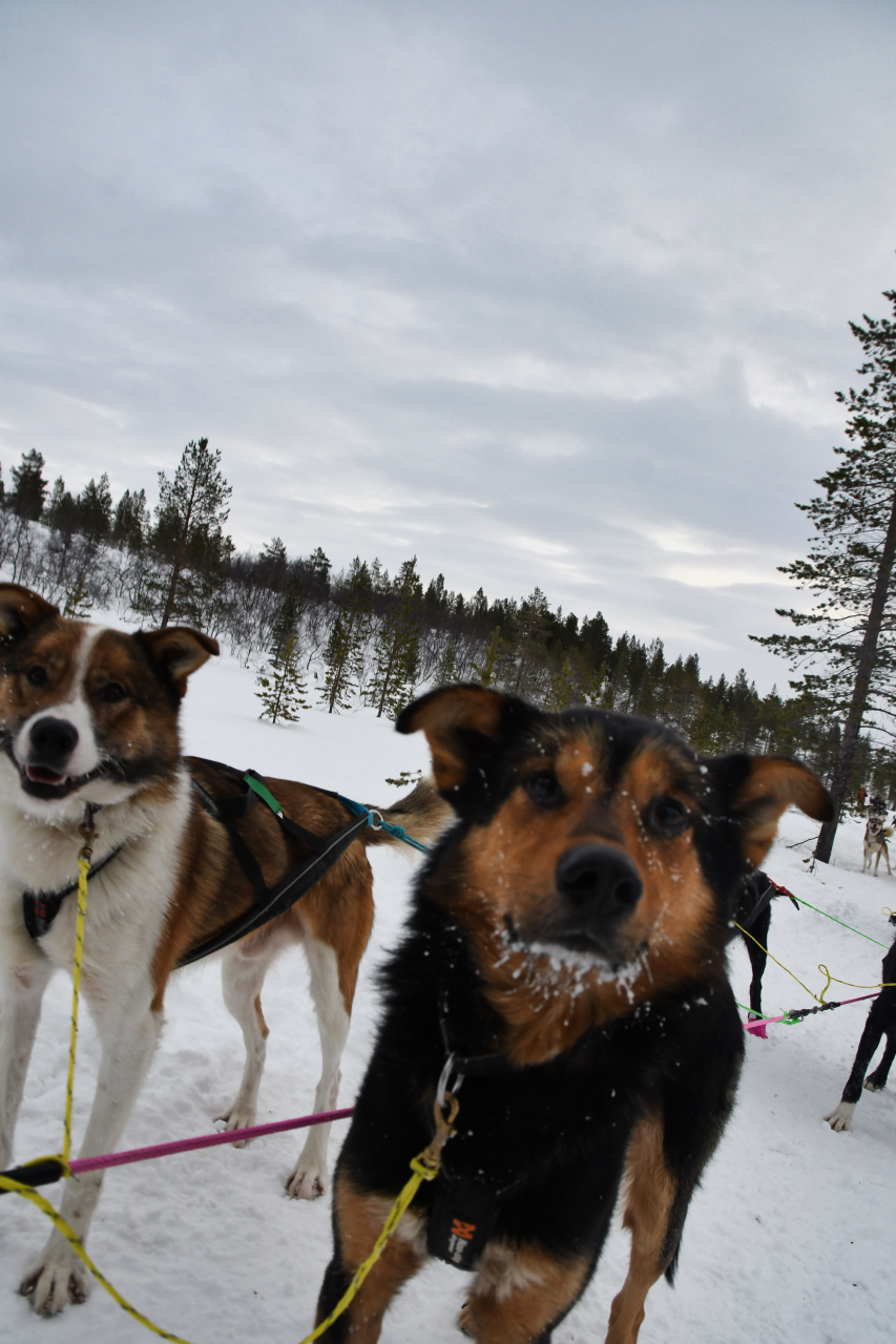 15-Kirkenes-Schlittenhunde-0860