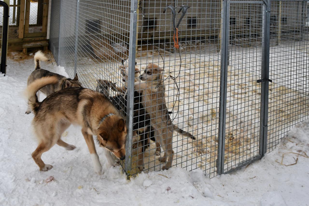 15-Kirkenes-Schlittenhunde-0917